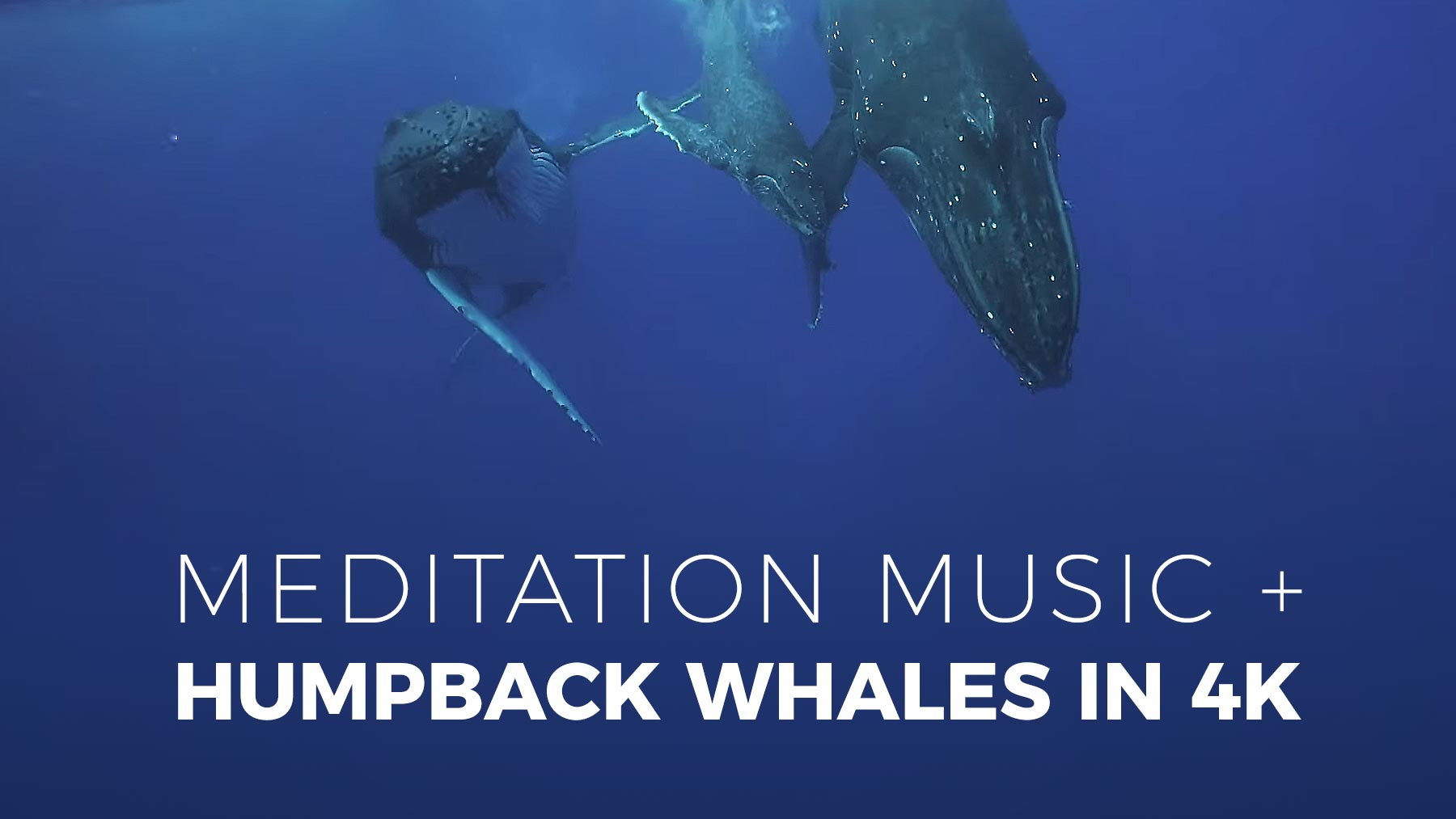 Meditation Music + Humpback Whales in 4K